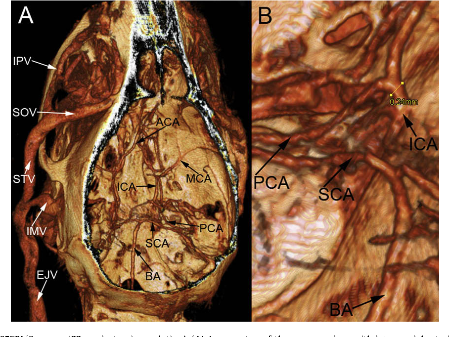 Figure 6 From Vascular Imaging In Small Rodents Using Micro Ct