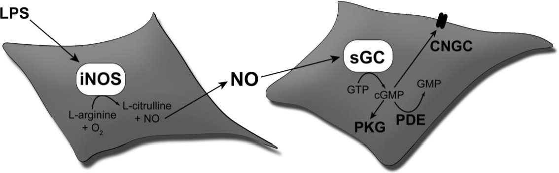 Figure 7 From Nitric Oxide No And Carbon Monoxide Co Mediated