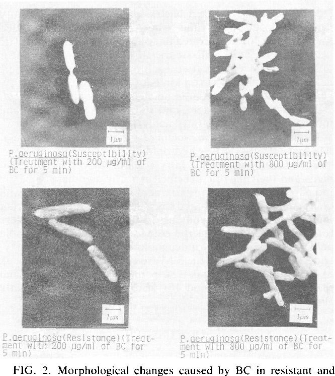 FIG. 2. Morphological changes caused by BC in resistant and susceptible P. aeriuginosa. A B S