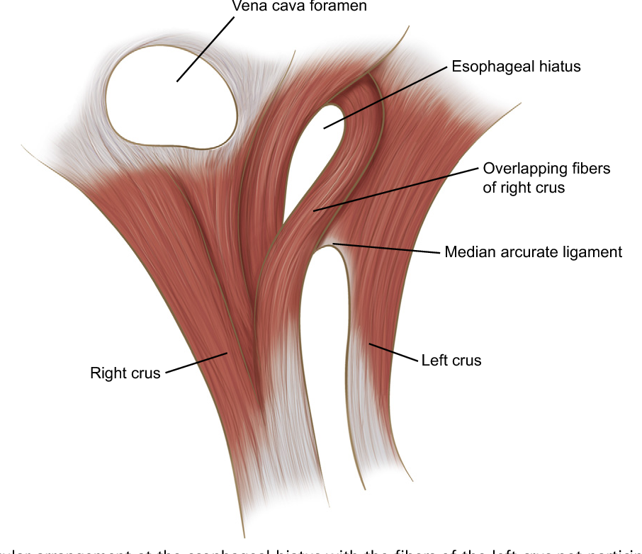 Figure 4 from Anatomy of the normal diaphragm. - Semantic Scholar