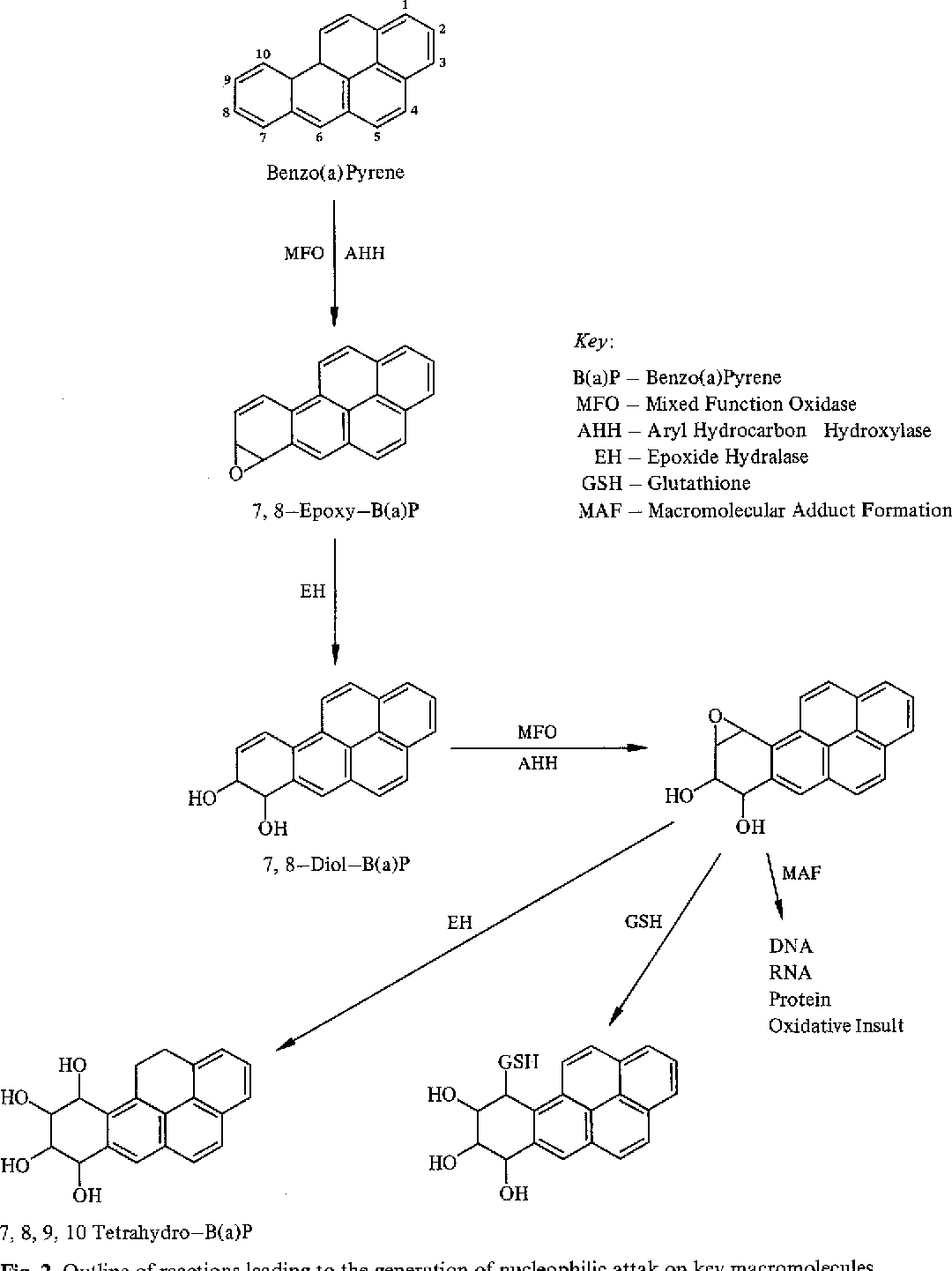 Fig. 2. Outline of reactions leading to the generation of nucleophilic attak on key macromolecules