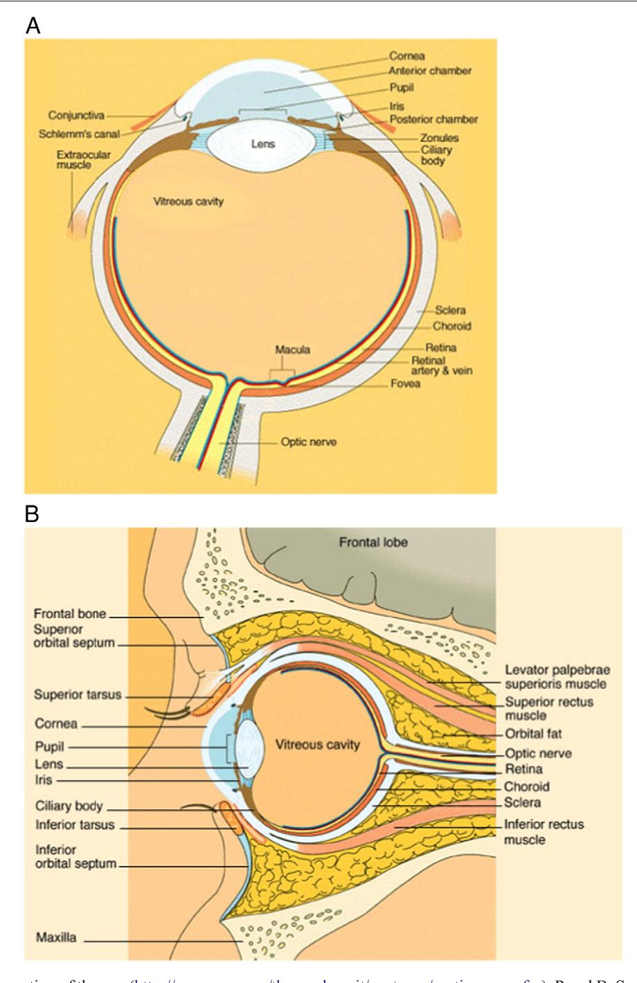 Figure 1 From Human Ocular Anatomy Semantic Scholar