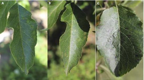 Figure 2 for Identify Apple Leaf Diseases Using Deep Learning Algorithm