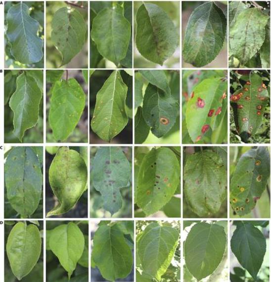 Figure 3 for Identify Apple Leaf Diseases Using Deep Learning Algorithm