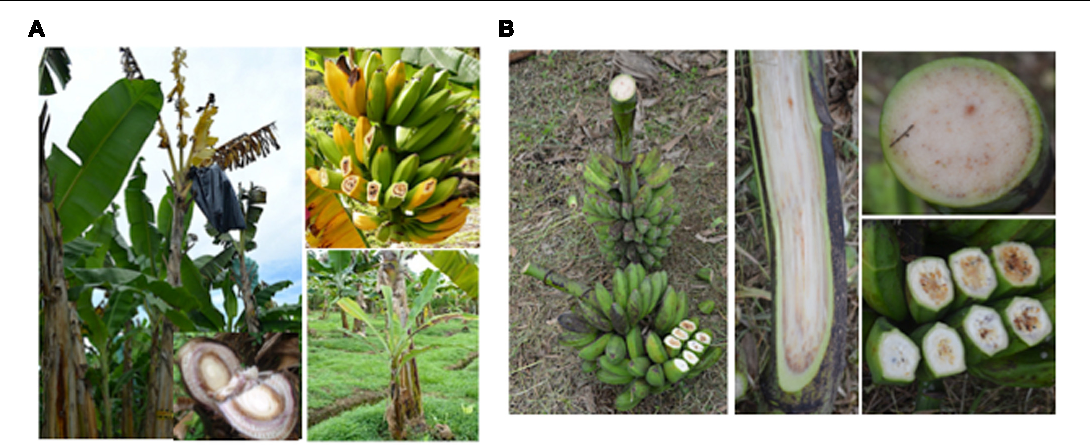Figure 4 from Bacterial Diseases of Bananas and Enset