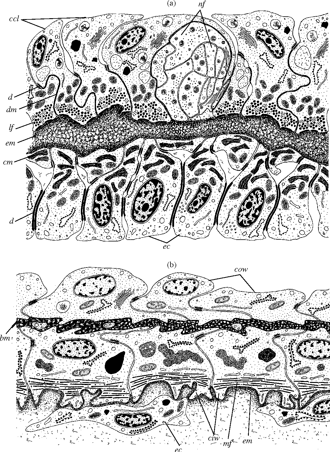 Figure 3 From Ultrastructure Of The Circulatory System Of The
