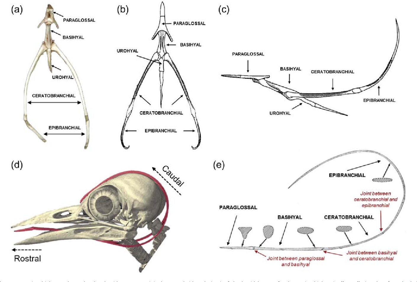 Structural analysis of the tongue and hyoid apparatus in a ...