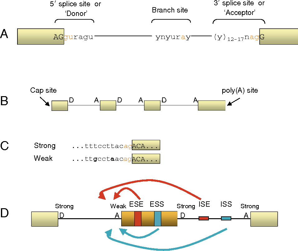 Splice Variants Reveal Connections >> Figure 1 From The Connection Between Splicing And Cancer Semantic