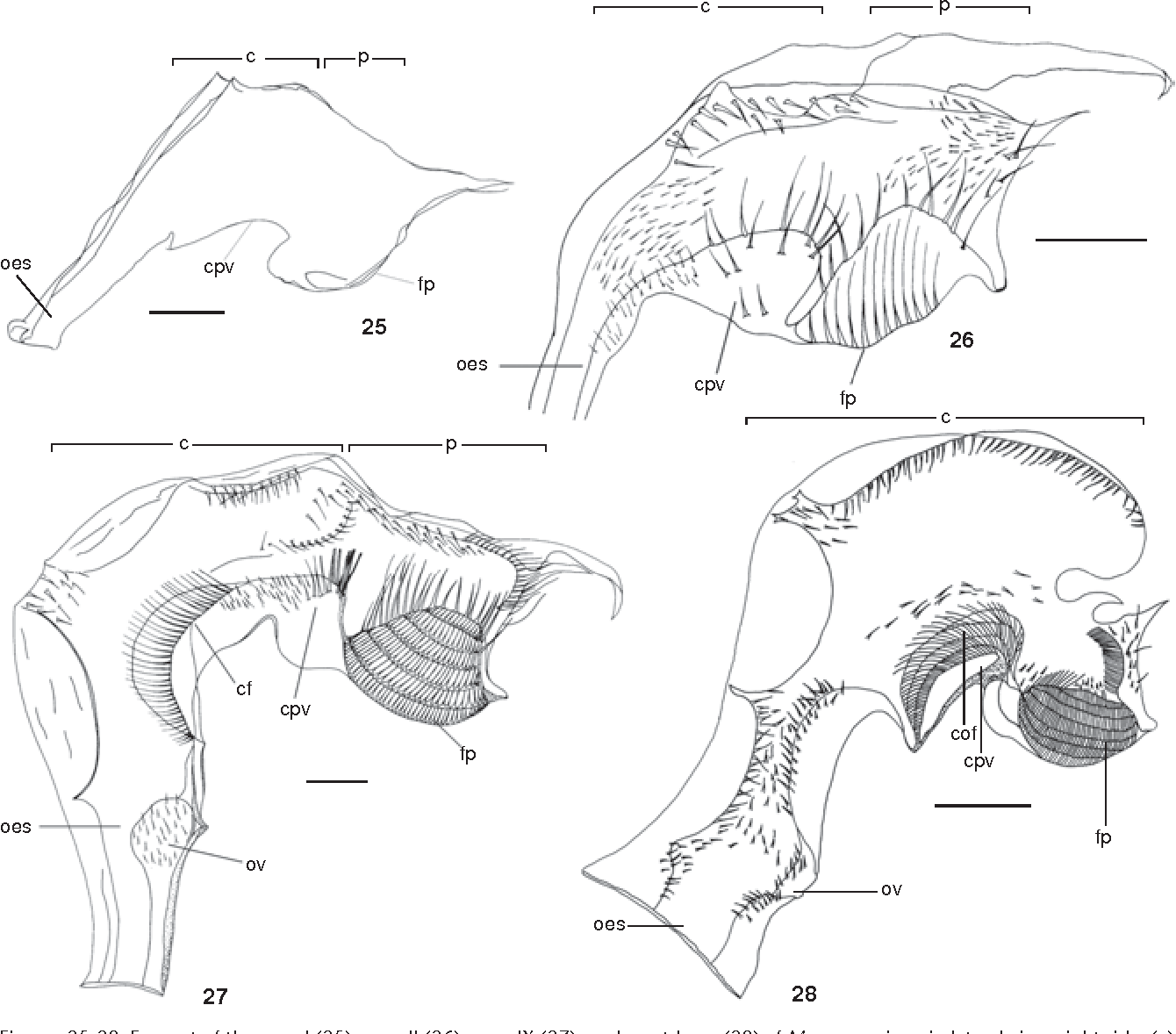 Ontogenesis and functional morphology of the digestive system of the figure 25 28 ccuart