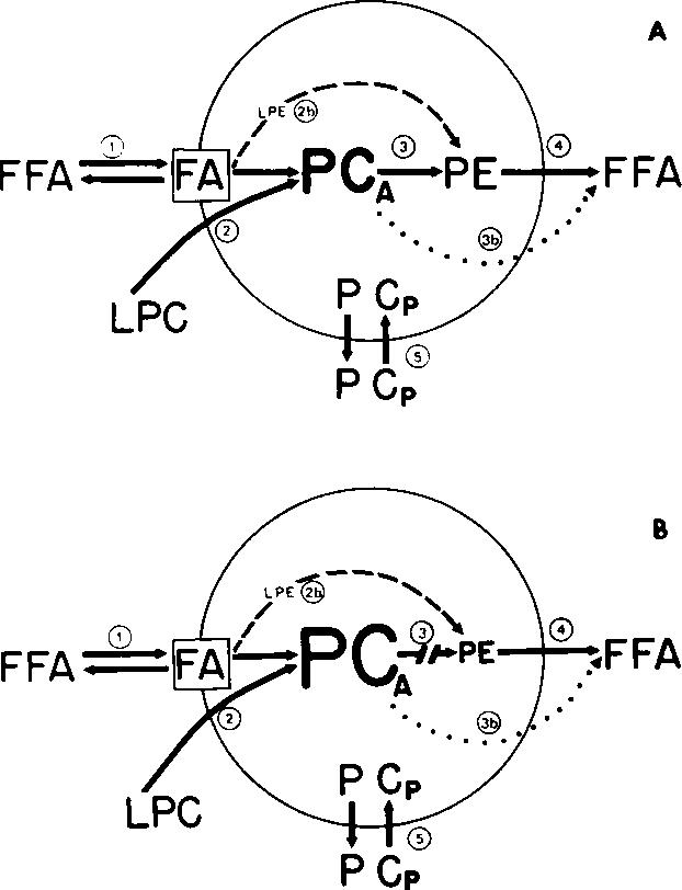 Hereditary Hemolytic Anemia Associated With Abnormal Membrane Lipids