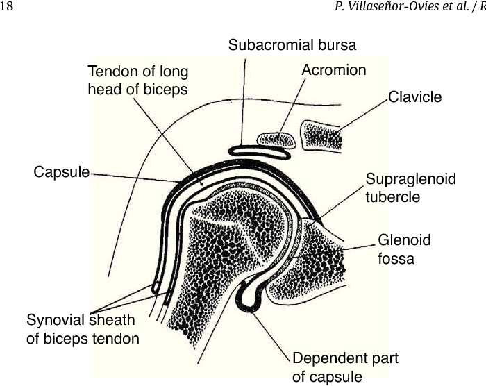Figure 7 From Clinical Anatomy Of The Elbow And Shoulder Semantic