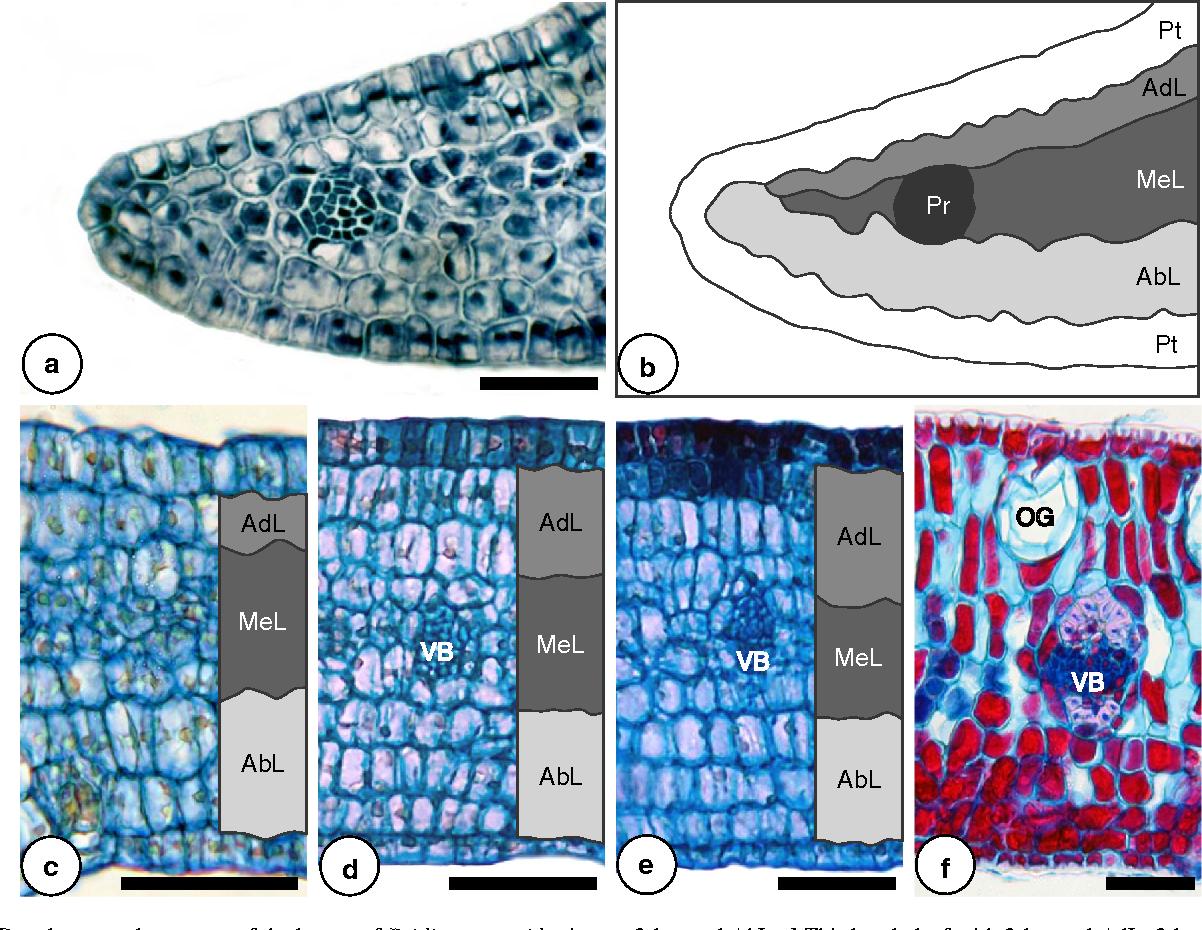 Developmental Anatomy And Immunocytochemistry Reveal The Neo