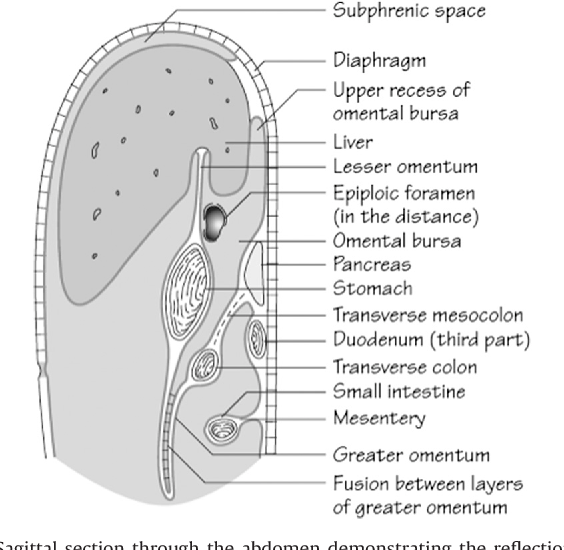 Figure 3 From Anatomy And Physiology Of The Peritoneum Semantic
