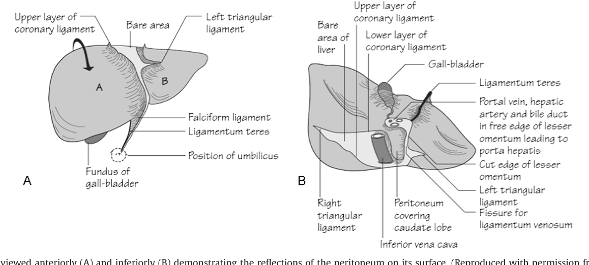 Figure 4 from Anatomy and physiology of the peritoneum. - Semantic ...