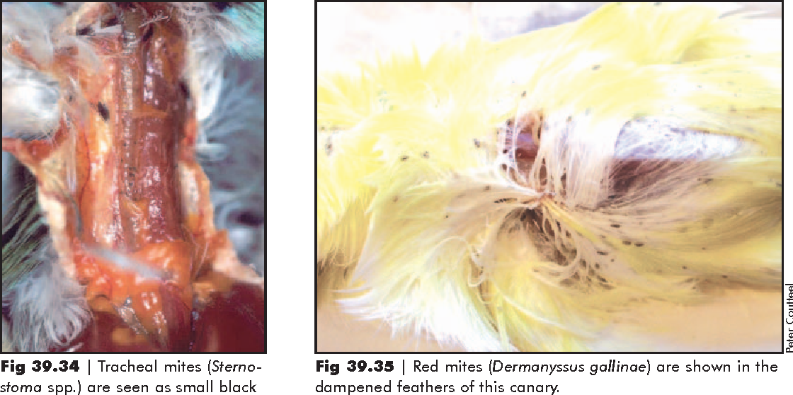 Figure 39 34 from Type 39 Canaries , Finches and Mynahs