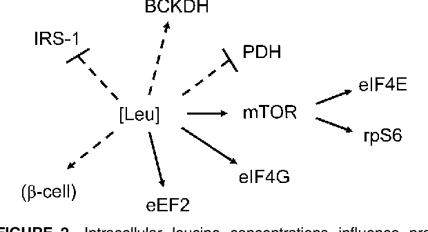 FIGURE 2 Intracellular leucine concentrations influence protein synthesis (solid lines), including translation initiation factors eIF4E, rpS6, and eIF4G and elongation factor eEF2, and energy metabolism (dashed lines) through BCKDH, pyruvate dehydrogenase (PDH), insulin receptor substrate-1 (IRS-1), and insulin release from the b-cell of the pancreas. Arrows indicate stimulation, and blocked lines indicate inhibition.