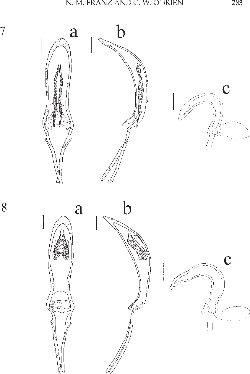 Figure 7 from Revision and phylogeny of Perelleschus (Coleoptera