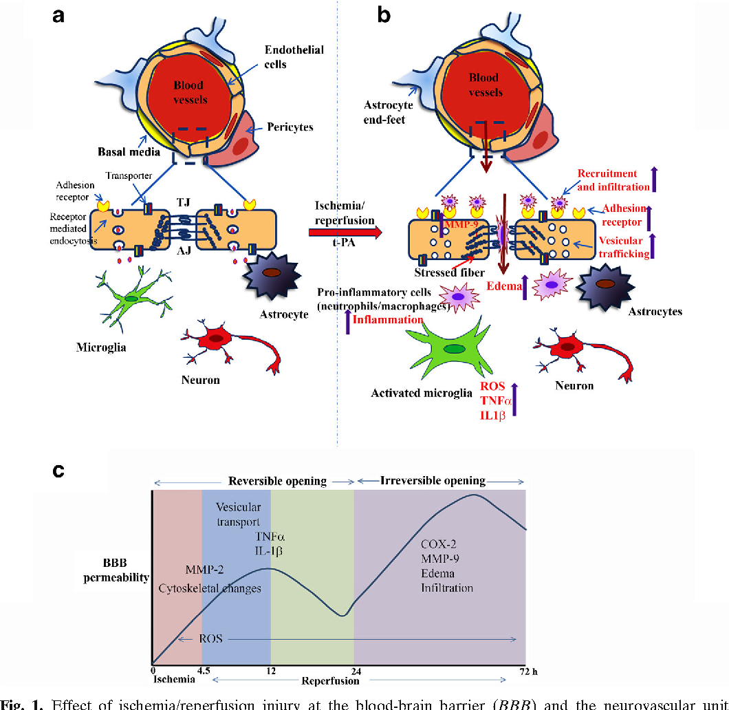 Blood-Brain Barrier Protection as a Therapeutic Strategy for Acute ...