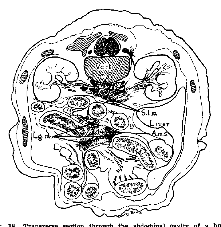 Figure 18 from The Lymphatic System.in Humxn Embryos, Yith J a ...