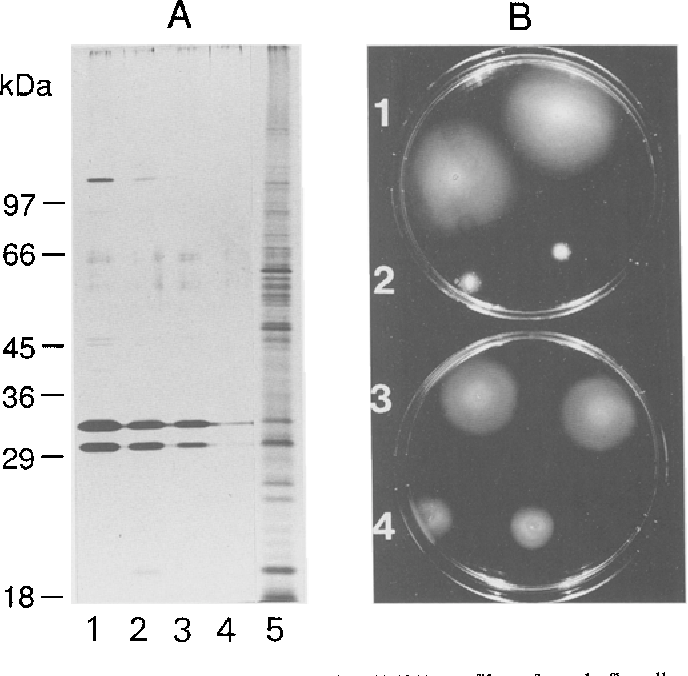 Fig. 1A. Silver-stained SDS-PAGE (15%) profiles of crude flagella preparations of Agrobacterium tumefaciens strain A348 (lanes 1 and 2) and chvB mutant strain MEl17 (lanes 3, 4 and 5) grown in TY medium (lanes 1 and 3) or TY supplemented with 7 mM CaC12 (TYC) (lanes 2, 4 and 5). The amount applied corresponds with flagella of 7 x 108 bacteria, with the exception of lane 5 (1.4 x 101° bacteria). Positions of molecular weight markers are indicated at the left; B 0.3 % agar swarm-plates containing TYC (uppear plate) or TY (lower plate) medium spotted with A348 (1 and 3) and ME117 (2 and 4)