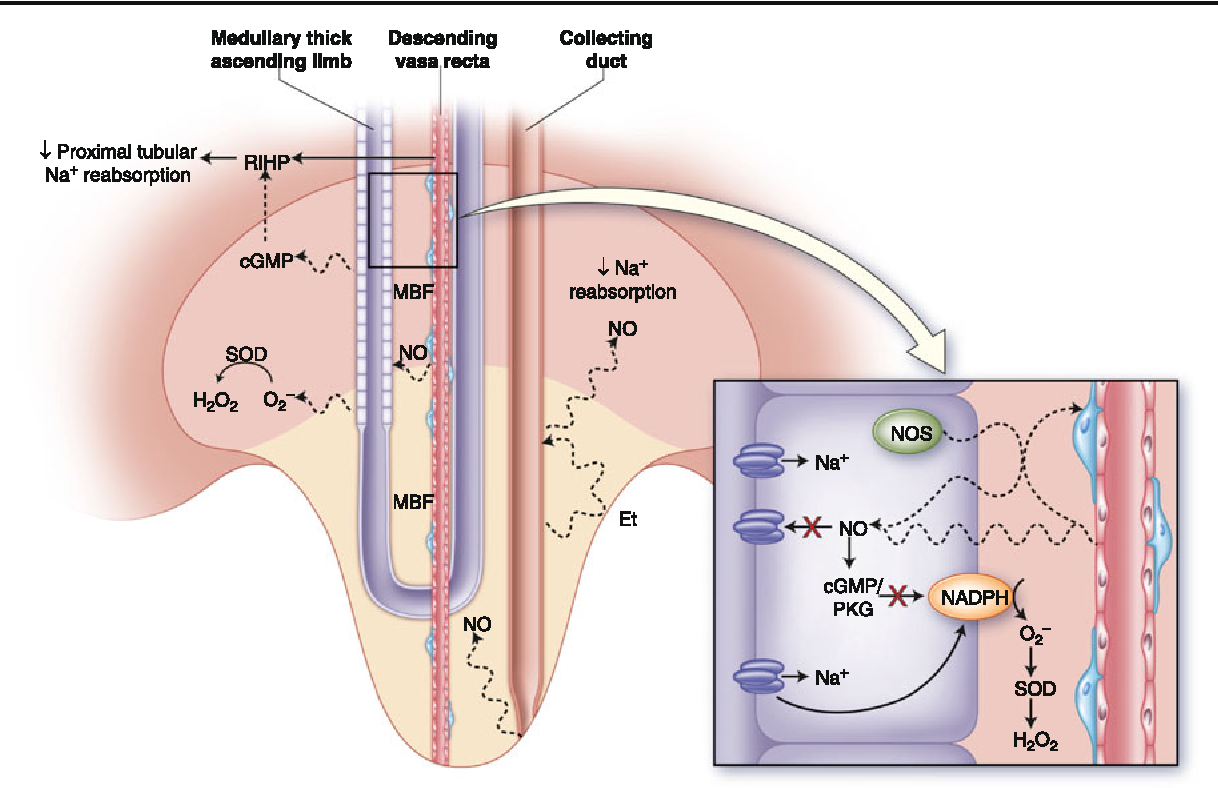 Figure 1 From Modulation Of Pressure Natriuresis By Renal Medullary