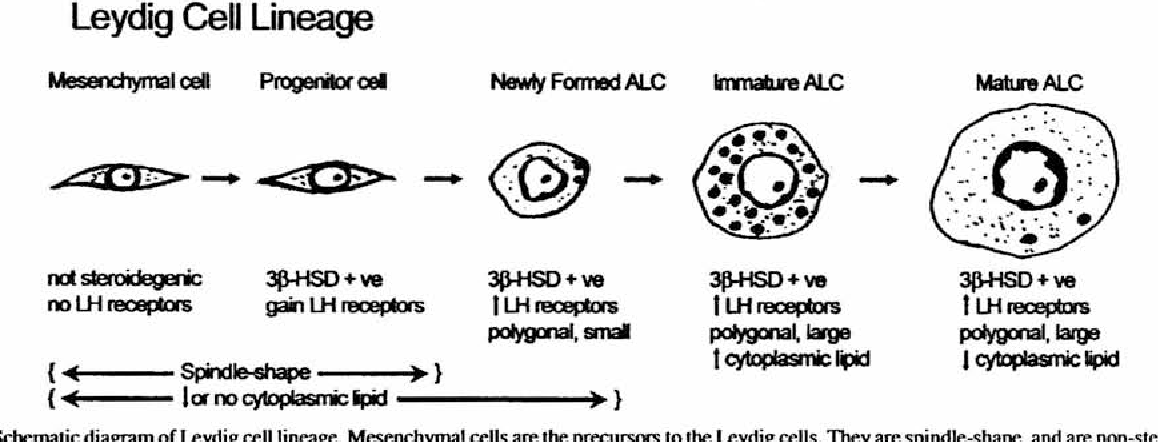 Figure 2 from leydig cells thyroid hormones and steroidogenesis 2 schematic diagram of leydig cell lineage mesenchymal cells are the precursors ccuart Images