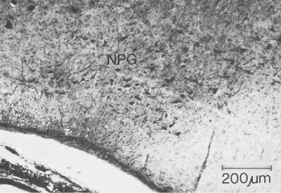 Fig. 7 Nucleus paragigantocellularis (NPG). 40 gm frozen section, 2.1 - 3.3 mm lateral of the midline, 5 mm caudal of the foramen coecum. Methylene blue. Transversal section. Right side: Medial. Left side: Lateral