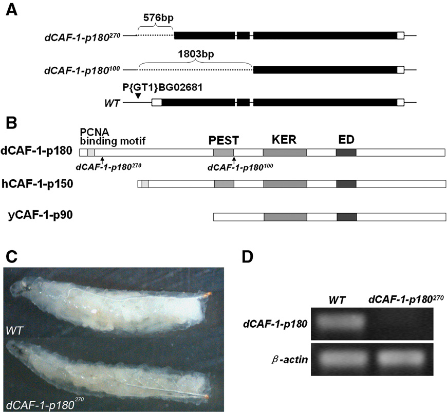 Fig. 1. dCAF-1-p180 is essential for Drosophila development. (A) Schematic pre Dotted lines represent the deletions. Filled bars indicate the coding regions of dCA insertion site BG02681 is marked with the arrowhead. (B) Comparison of ortholog dCAF-1-p180 and yCAF-1-p90, respectively. Conserved domains of PCNA binding points of the deletions of dCAF-1-p180270 and dCAF-1-p180100 that delete parts of t dCAF-1-p180270 mutant. (D) RT-PCR to detect dCAF-1-p180 mRNA in total RNA loading control.