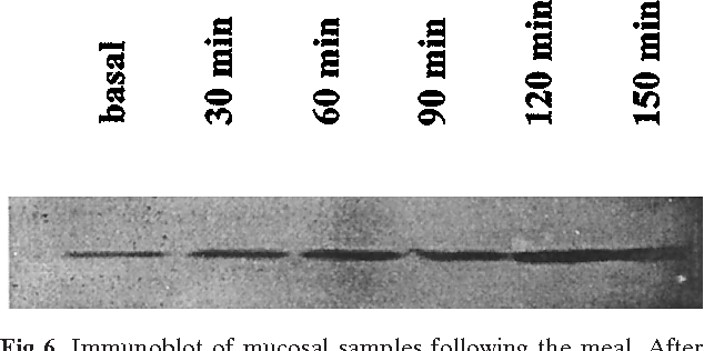 Fig 6. Immunoblot of mucosal samples following the meal. After protein extraction, 2.5 mg of protein was loaded on a 12% SDSPAGE gel. Following electrophoretic transfer to nitrocellulose, membranes were incubated with antibody 8821, specific for SGLT1, and a secondary horseradish peroxidase conjugate IgG.