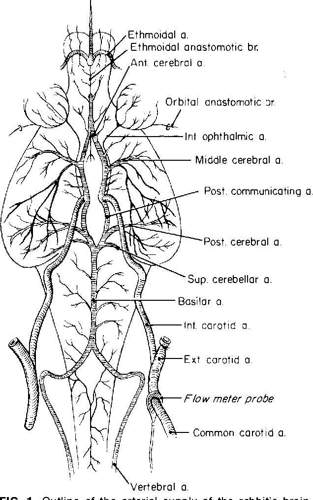 Cerebrovascular anatomy and blood flow measurements in the rabbit ...