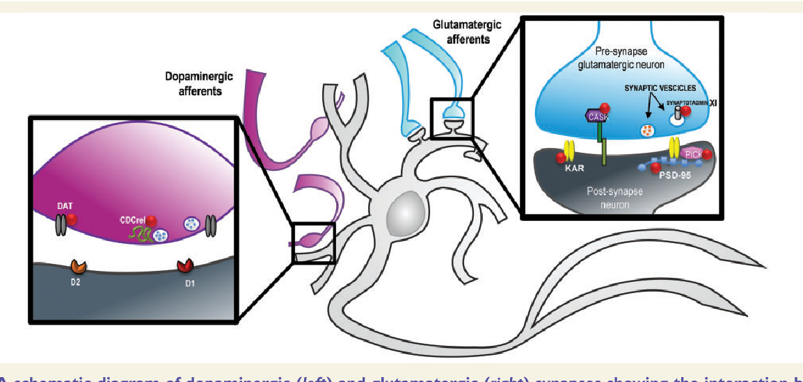 Figure 1 From The Synaptic Function Of Parkin Semantic Scholar