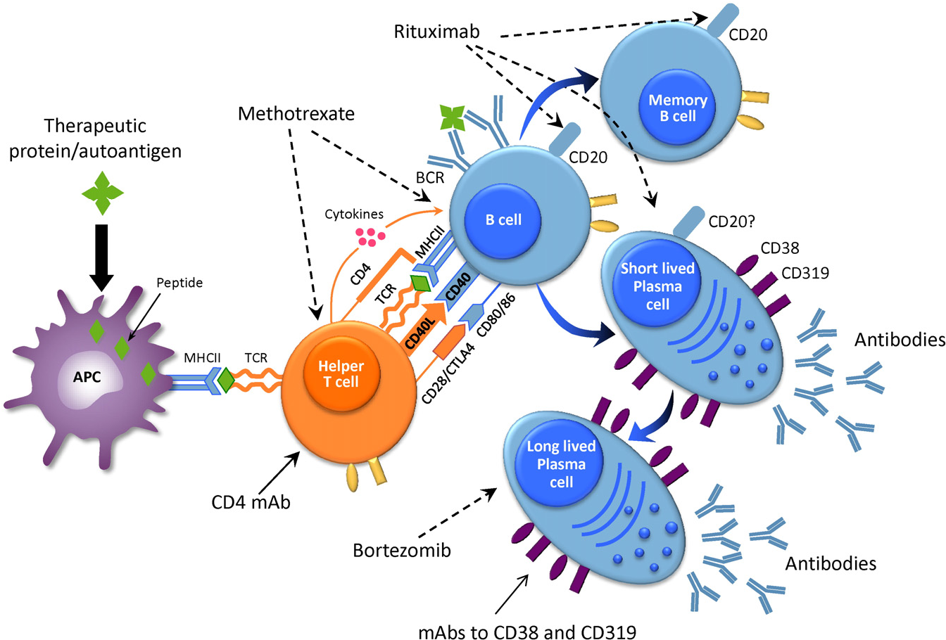 A role for plasma cell targeting agents in immune tolerance figure 1 publicscrutiny Gallery
