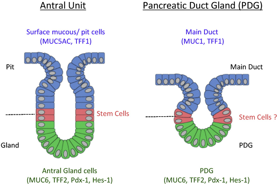 Figure 6 from Pancreatic duct glands (PDGs) are a progenitor ...
