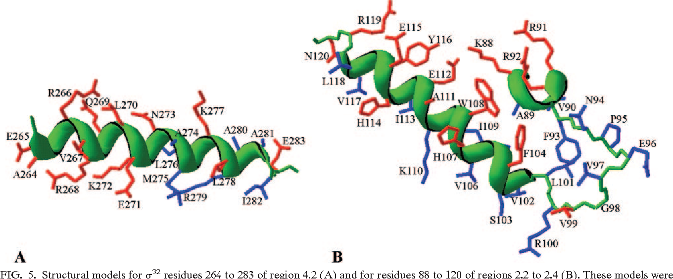 FIG. 5. Structural models for 32 residues 264 to 283 of region 4.2 (A) and for residues 88 to 120 of regions 2.2 to 2.4 (B). These models were rendered using DeepView-Swiss PDB Viewer version 3.7 by superimposing the sequences of E. coli 32 onto the experimentally determined structures of T. aquaticus A (3), as indicated on the figures. The justification for this simplified approach is derived from the observation that structure is remarkably well conserved among the 70-like sigma factors. The side chains for which substitutions were introduced are colored red, and other residues are blue. The protein backbone is green, and for -helices it is shown as a green ribbon.