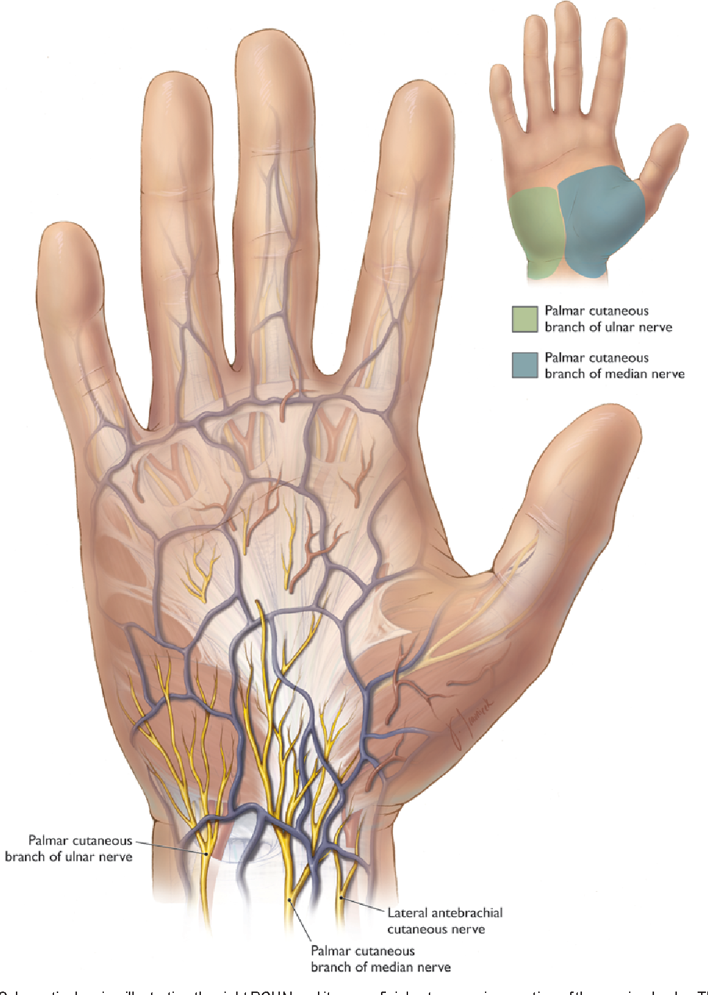 Anatomy of the palmar branch of the ulnar nerve: application to ...