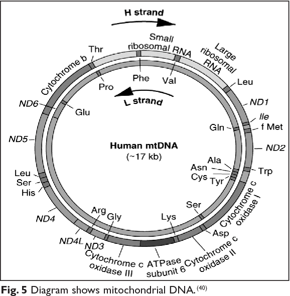Figure 5 from genetics of human male infertility semantic scholar 5 diagram shows mitochondrial dna 40 ccuart Image collections