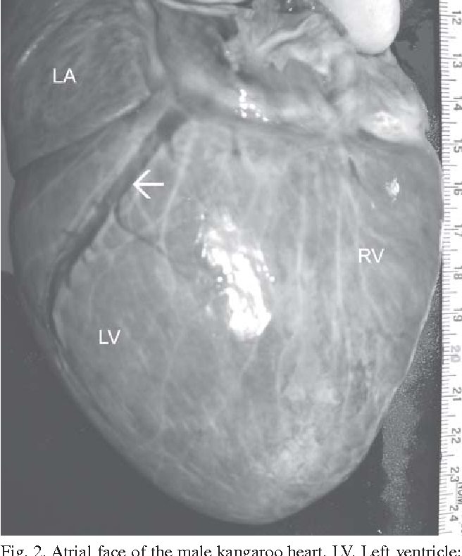 Figure 2 from Gross Anatomy of the Heart in the Western Grey ...