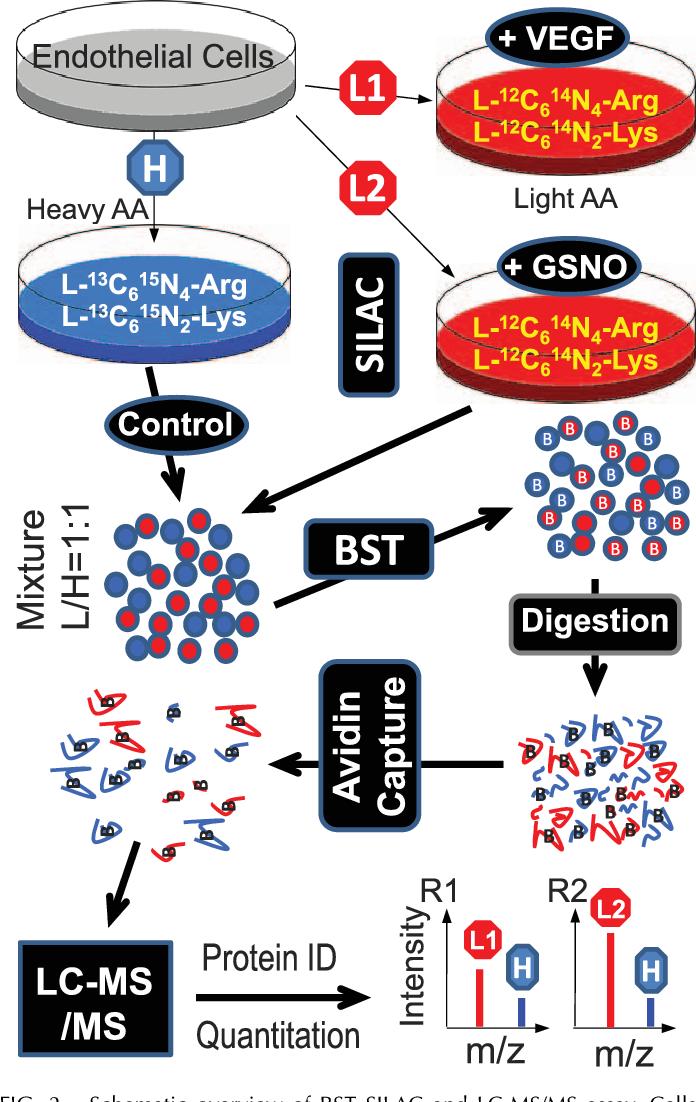 PDF] Quantitative Proteomics Analysis of VEGF-Responsive