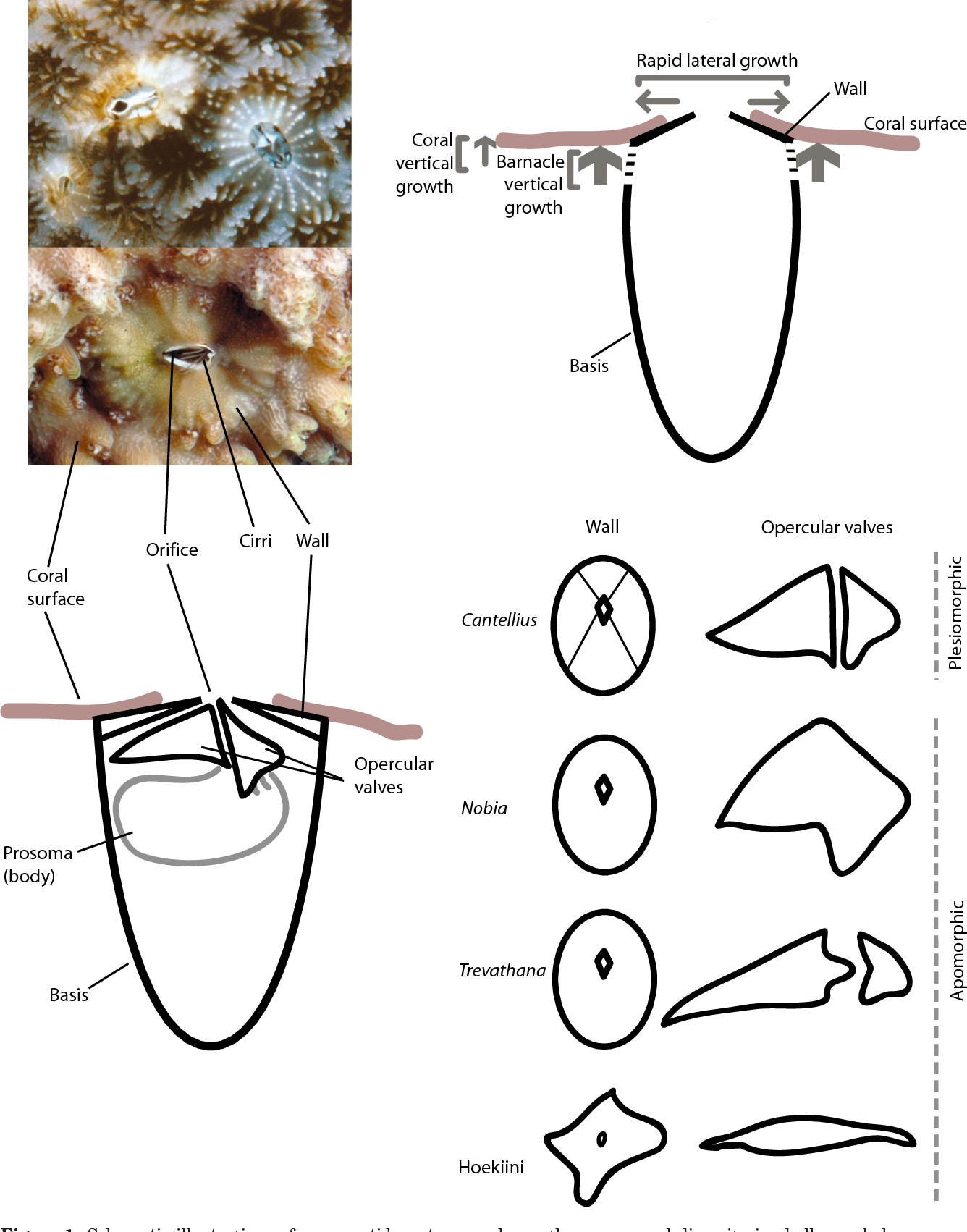 Figure 1 From Phylogenetics And Morphological Evolution Of Coral
