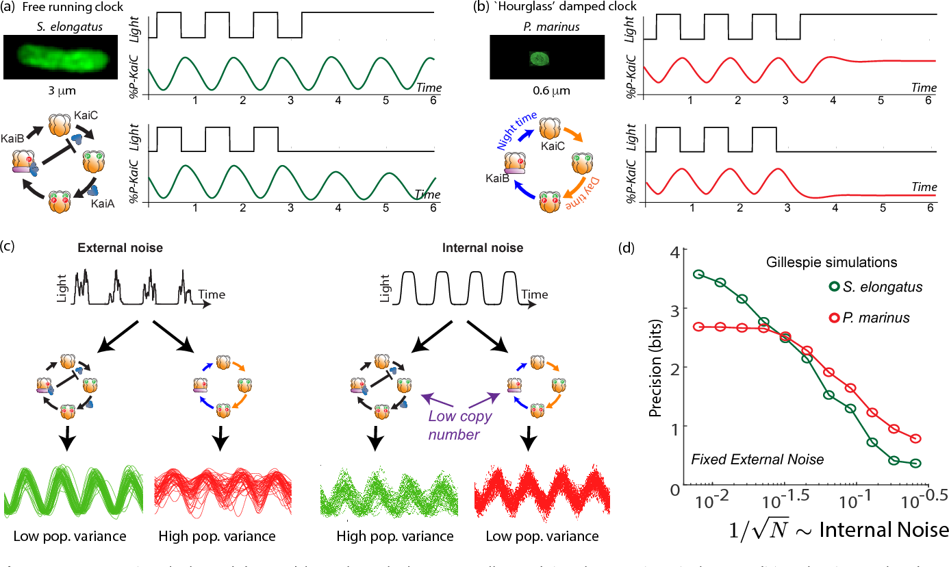 Figure 1. Free running clocks and damped 'hourglass' clocks are equally good time-keepers in noiseless conditions but internal and external fluctuations reveal significant differences. (a) Free running circadian clocks, such as the KaiABC protein clock in S. elongatus, show rhythms in both oscillating and constant light (top) or dark (bottom) conditions. (b) In contrast, damped circadian clocks, such as that in P. marinus which lacks Kai A, show rhythms only in changing light conditions and decay to a fixed state in constant conditions. (c) When subject to external noise (i.e., weather-related amplitude fluctuations in light), simulations of the free running clock show low population variance while the damped clock shows high variance. In contrast, Gillespie simulations with high internal noise due to low copy number of Kai molecule reveals that damped clocks are much more robust than free running clocks. (d) A systematic study of clock precision (i.e., mutual information between clock state and time) at fixed external noise but decreasing Kai protein copy number N reveals that free running clocks are preferred at low internal noise but damped clocks are preferable at sufficiently high internal noise.