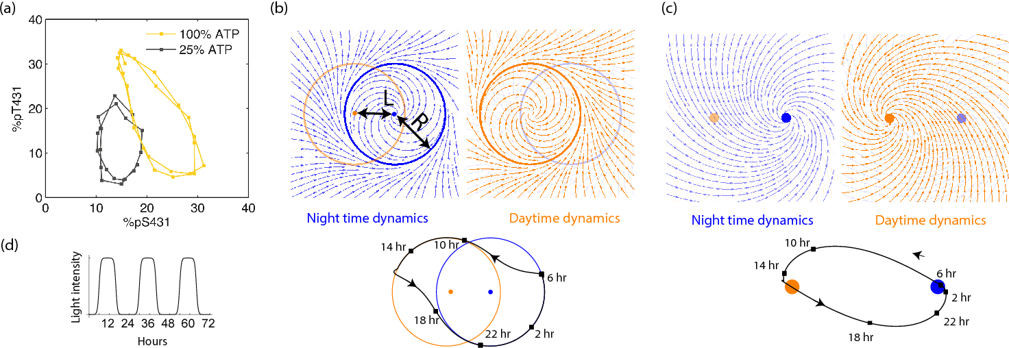 Figure 3. Experiments and models of biological clocks show that external driving can be viewed as a switch between distinct day-time and night-time dynamics. (a) Experiments on the Kai system at distinct ATP levels corresponding to day and night conditions reveal limit cycles shifted relative to each other in a phosphorylation space for Kai (reproduced from [31]). Similar behavior[56] is seen in models of diverse biochemical oscillators studied in Fig.2. (b) We build a minimal model of such driven clocks as a limit cycle of radius R whose center is shifted by a distance L between day and night. In cycling conditions (see signal in (d)), an entrained clock's state executes a trajectory that encompasses both limit cycles as shown (bottom). (c) For damped clocks [45], phenomenology suggests that the day and night limit cycle dynamics are replaced by a point attractor whose position changes between day and night. The relaxation time between the day and night attractors is comparable to ∼ 12 hours, giving rise to the trajectory shown in cycling conditions. (d) The plot shows cycling conditions of light intensities that couple to (b) and (c).