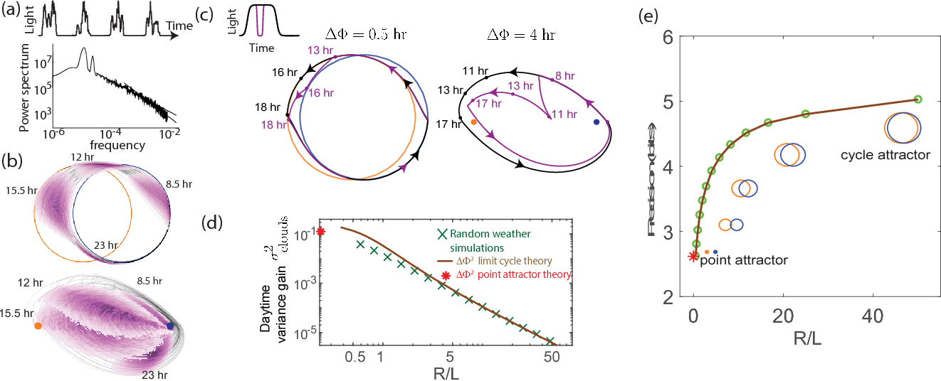 Figure 4. External weather-related light fluctuations are filtered out by limit cycle attractors but not by point attractors. (a) Light intensity levels fluctuate on a range of time scales due to weather (power spectrum reproduced from [20]). (b) A population of limit cycle clocks of identical fixed geometry, subject to different realizations of weather conditions, show non-overlapping distributions (purple blobs) at different times of the day. Point attractor clocks form larger and more overlapping distributions. (c) A single representative dark pulse of ∼ 2.4 duration causes only a ΔΦ ∼ 30 min phase lag in limit cycles since the trajectory's deviation (purple) is fundamentally bounded by the circular attractor. In contrast, ΔΦ ∼ 4 hr for the point attractor since the trajectory is in free-fall towards the blue night-time attractor. (d) The geometrically computed ΔΦ2 phase shift for a dark pulse of any fixed duration and time of occurrence (see Appendix 5) drops rapidly as (R∕L)−2 for large-R∕L limit cycles; this theoretical prediction agrees well with the population variance gain over a day in simulations. (e) Consequently, weakly driven limit cycles (i.e., high R∕L) can tell time with high precision.