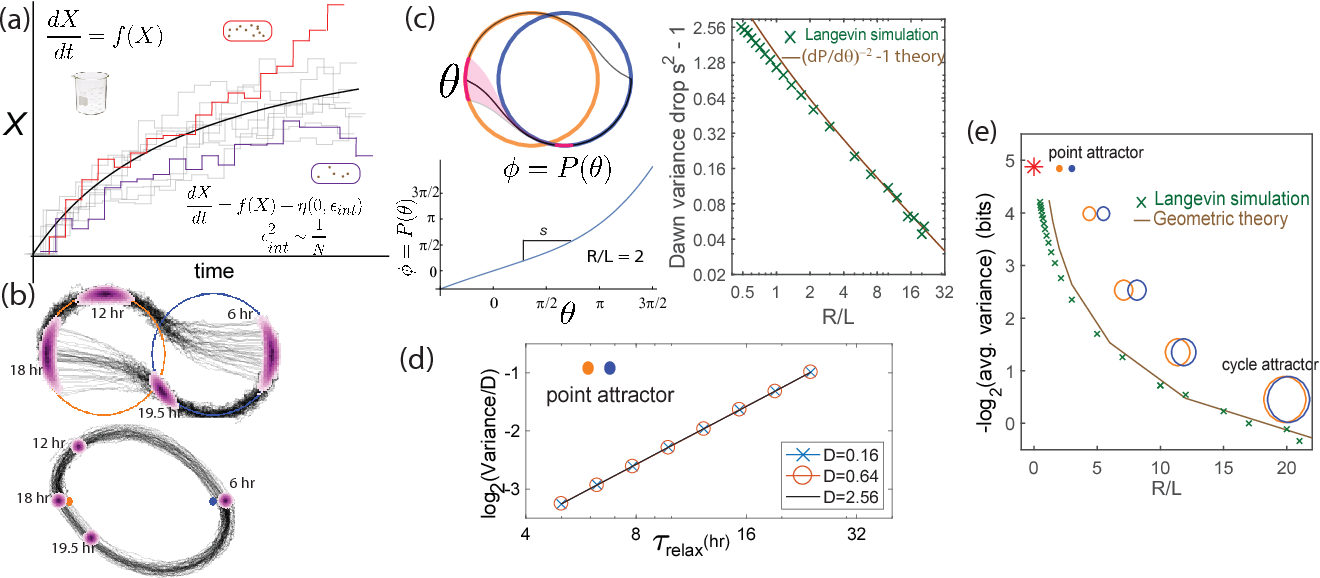 Figure 5. Internal fluctuations severely affect continuous attractors but not point attractors. (a) We model fluctuations due to finite copy number N as Langevin noise with mean zero and standard deviation int, resulting in a diffusion constant 2int ∼ 1∕N for the clock state. (b) The flat direction of limit cycles cannot contain diffusion, leading to large increases 2intTday in population variance of clock state during each day (and night). In contrast, point attractor dynamics have constant curvature at all times, leading to a constant population variance over time. (c) The variance drops 2 → 2∕s2 at dawn and dusk for limit cycles during the off-attractor dynamics between the day and night cycles. As with external noise, the variance drop is predicted by the slope dP ( )∕d of the circle map between the cycles. This dawn/dusk drop goes to zero for large R∕L limit cycles but variance still increases during the day and night. (d) The variance for point attractors is D relax, a constant determined by the curvature −1relax of the harmonic potential. (e) Thus, with only internal noise present, the precision of limit cycle clocks increases with increasing separation L∕R, asymptotically approaching the performance of point attractors.
