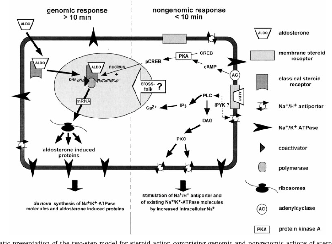Figure 7 From Multiple Actions Of Steroid Hormones A Focus On Rapid