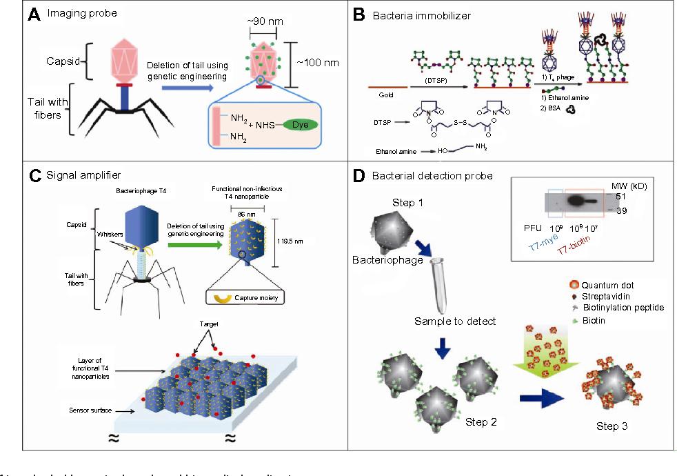 Nanoscale Bacteriophage Biosensors Beyond Phage Display Semantic