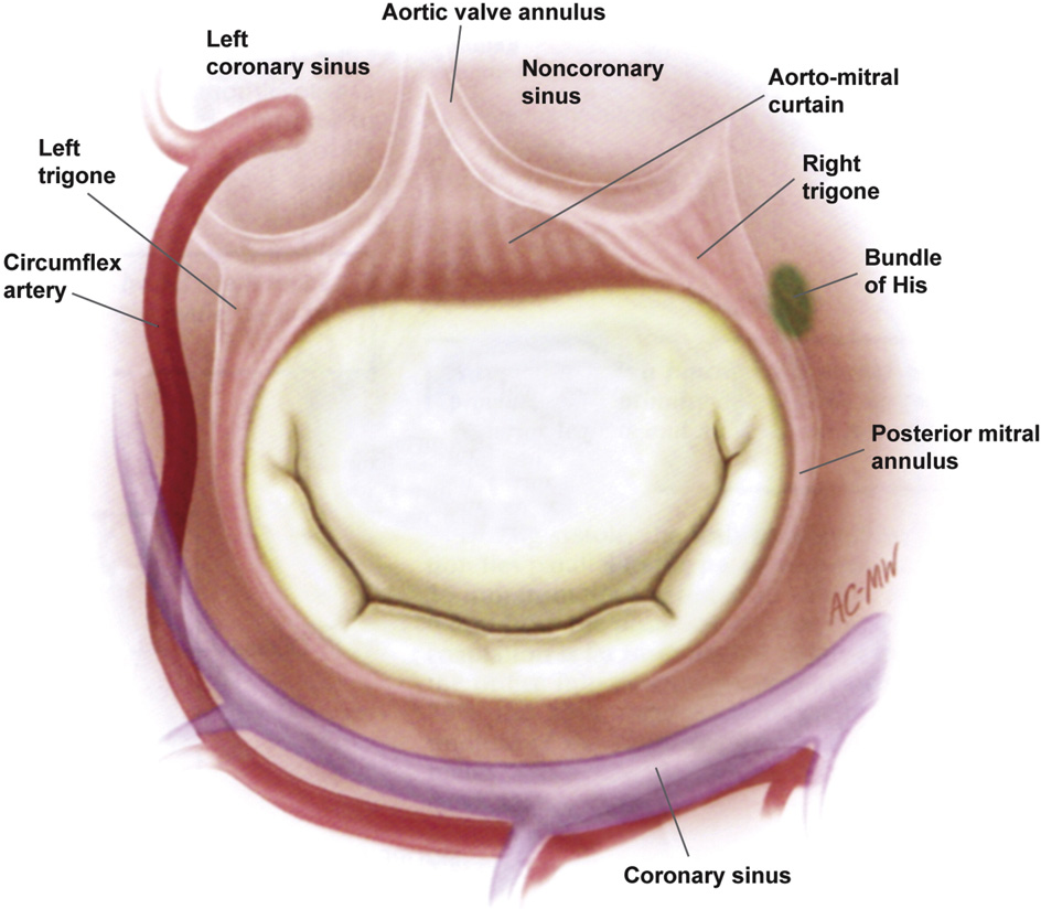 Anatomy Mechanics And Pathophysiology Of The Mitral Annulus
