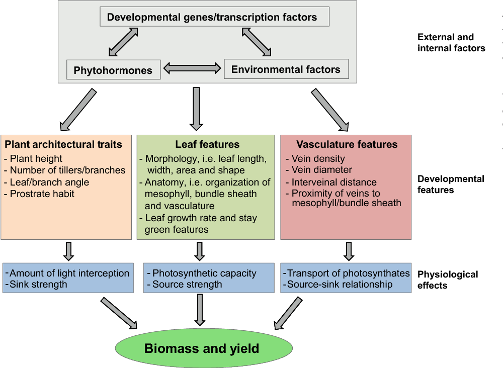 Table 1 from Enhancing crop yield by optimizing plant developmental ...