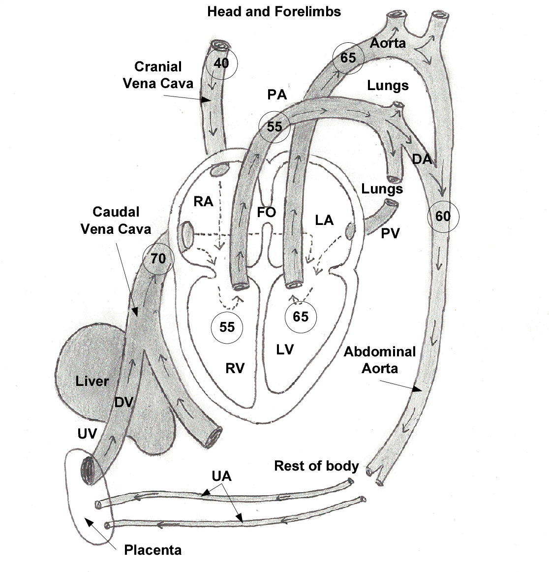 figure 2 2: schematic diagram of the fetal circulation  the figures in the  circles within