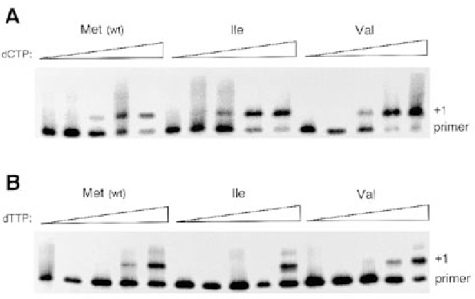Figure 4. Misinsertion fidelity of E.coli-expressed RT proteins. A DNA–DNA template/32P-end-labeled primer duplex was extended in the presence of a single dNTP. dCTP represents the correct nucleotide (A) and dTTP the incorrect nucleotide (B). Increasing amounts of dCTP and dTTP were used: 0, 0.04, 0.4, 4 and 40 µM. The positions of the primer and +1 extension product are indicated.