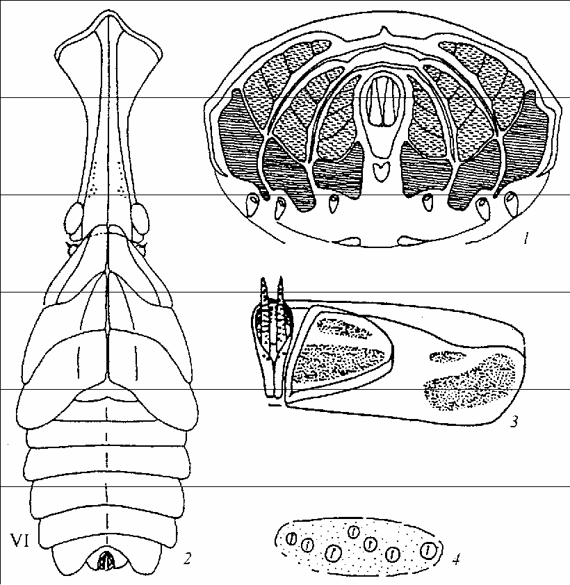 Evolutionary Transformations Of Abdominal Wax Plates In The Larvae